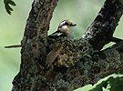 Ťuhýk černohřbetý (Lanius nubicus)
