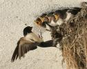 Vlaštovka obecná (Hirundo rustica)