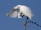Volavka stříbřitá (Egretta garzetta)