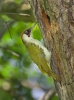 Žluna zelená (Picus viridis)