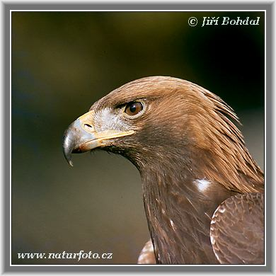 http://www.naturfoto.cz/fotografie/ptaci/orel-skalni-2524.jpg