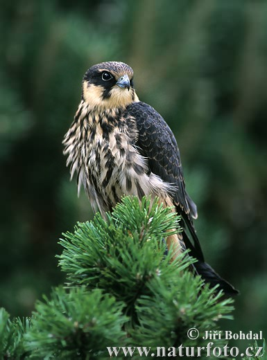 Ostříž lesní (Falco subbuteo)