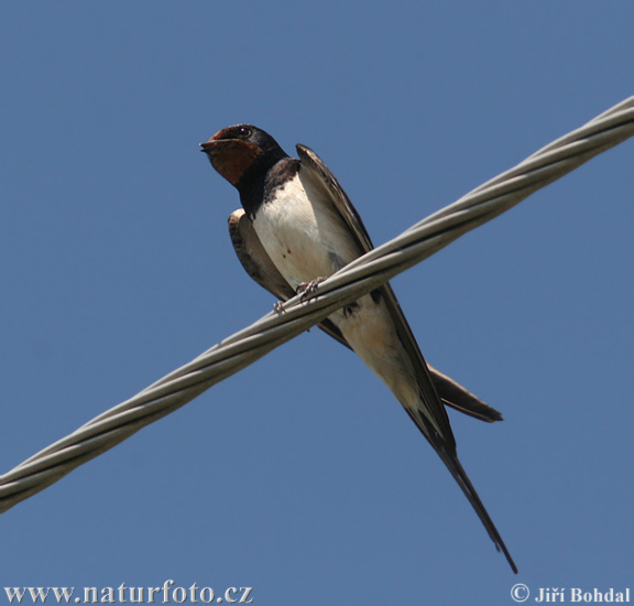 http://www.naturfoto.cz/fotografie/ptaci/vlastovka-obecna-31646.jpg
