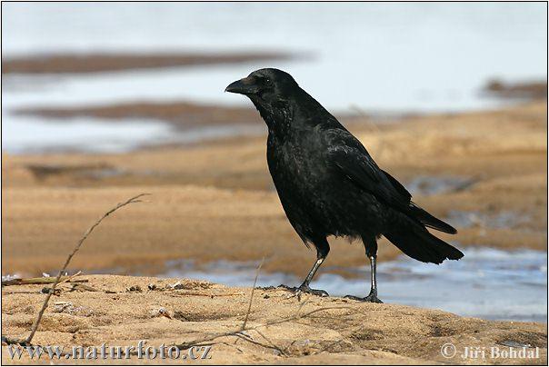 Vrána obecná (Corvus corone)