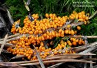 lesklík křehký (Leocarpus fragilis)