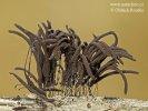 pazderek hnědý (Stemonitis fusca)