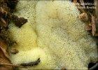 válečkovka keříčkovitá v. síťovitá (Ceratiomyxa fruticulosa var. porioides)