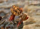 vosnatka červená (Metatrichia vesparium)