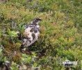 Bělokur horský (Lagopus mutus)
