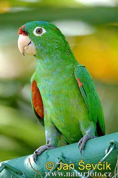 Aratinga finschi (Crimson fronted Parakeet)