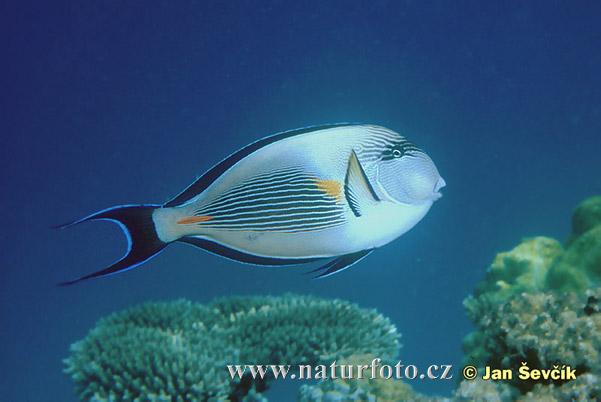 Bodlok (Acanthurus sohal)