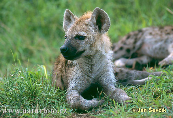 http://www.naturfoto.cz/fotografie/sevcik/hyena-skvrnita-mlade--crocuta-crocuta.jpg
