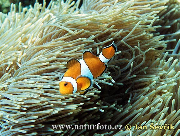 Klaun (Amphiprion percula)