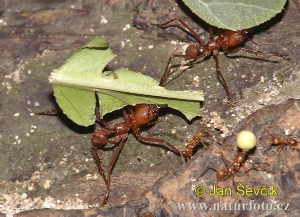 mravenec  atta sp mravenec 1