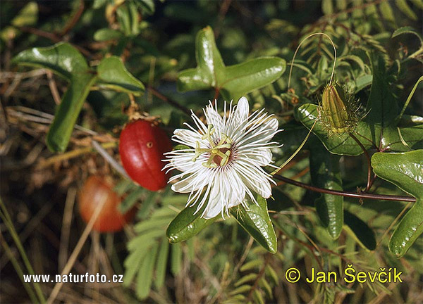 Mučenka (Passiflora sp.)