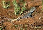 Agama modrá (Acanthocercus atricollis)