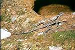 Anolis skalní (Anolis lucius)