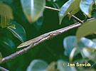 Anolis vepří (Anolis porcatus)
