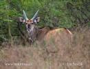 Antilopa Derbyho (Taurotragus derbianus)