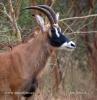Antilopa koňská (Hippotragus equinus)