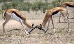 Antilopa skákavá (Antidorcas marsupialis)