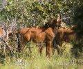 Antilopa vraná (Hippotragus niger)