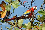 Papoušci (Psittaciformes)