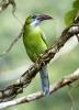 Arassari modrolící (Aulacorhynchus sulcatus)