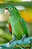 Aratinga rudočelý (Aratinga finschi)