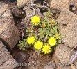 Asteriskus - Hvězdička (Asteriscus maritimus)