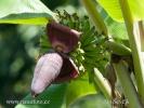 Banánovník (Musa sp.)