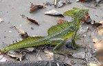 Bazilišok zelený (Basiliscus plumifrons)