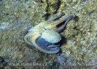 Chobotnice pobřežní (Octopus vulgaris)