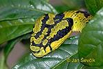 Chřestýšovec (Trimeresurus trigonocephalus)