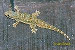 Gekon (Hemidactylus platyurus)
