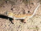 Gekon nádherný zázračný (Teratoscincus scincus)