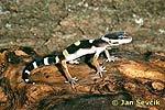 Gekončík nočný (Eublepharis macularius)