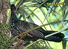 Guan chocholatý (Penelope purpurascens)