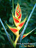Heliconia (Heliconia sp.)