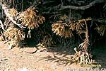 Houba rybniční (Spongilla lacustris)