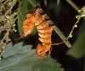 Hranostajník bukový (Stauropus fagi)
