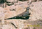 Hrdlička kapská (Oena capensis)