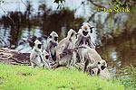 Hulman posvátný (Semnopithecus entellus)