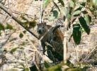 Hutie kubánská (Capromys pilorides)