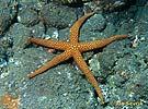 Hvězdice (Nardoa novaecaledoniae)