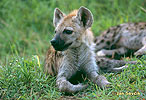 Hyena skvrnitá - mládě (Crocuta crocuta)
