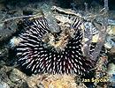 Ježovka obecná (Sphaerechinus granularis)