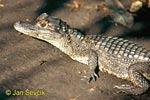 Kajman brýlový (Caiman crocodilus)