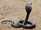 Kobra okuliarnatá (Naja naja)