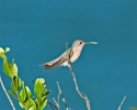 Kolibřík (Leucippus fallax)